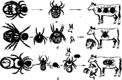 Иксодовые клещи: Иксодовые клещи (семейство Ixodidae) широко распространены по всему