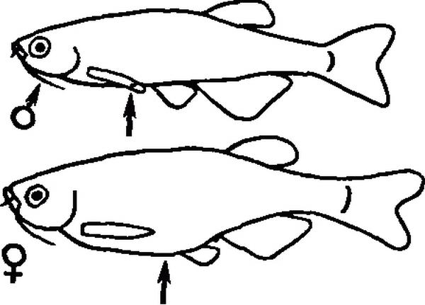 Признаки самца и самки данио рерио