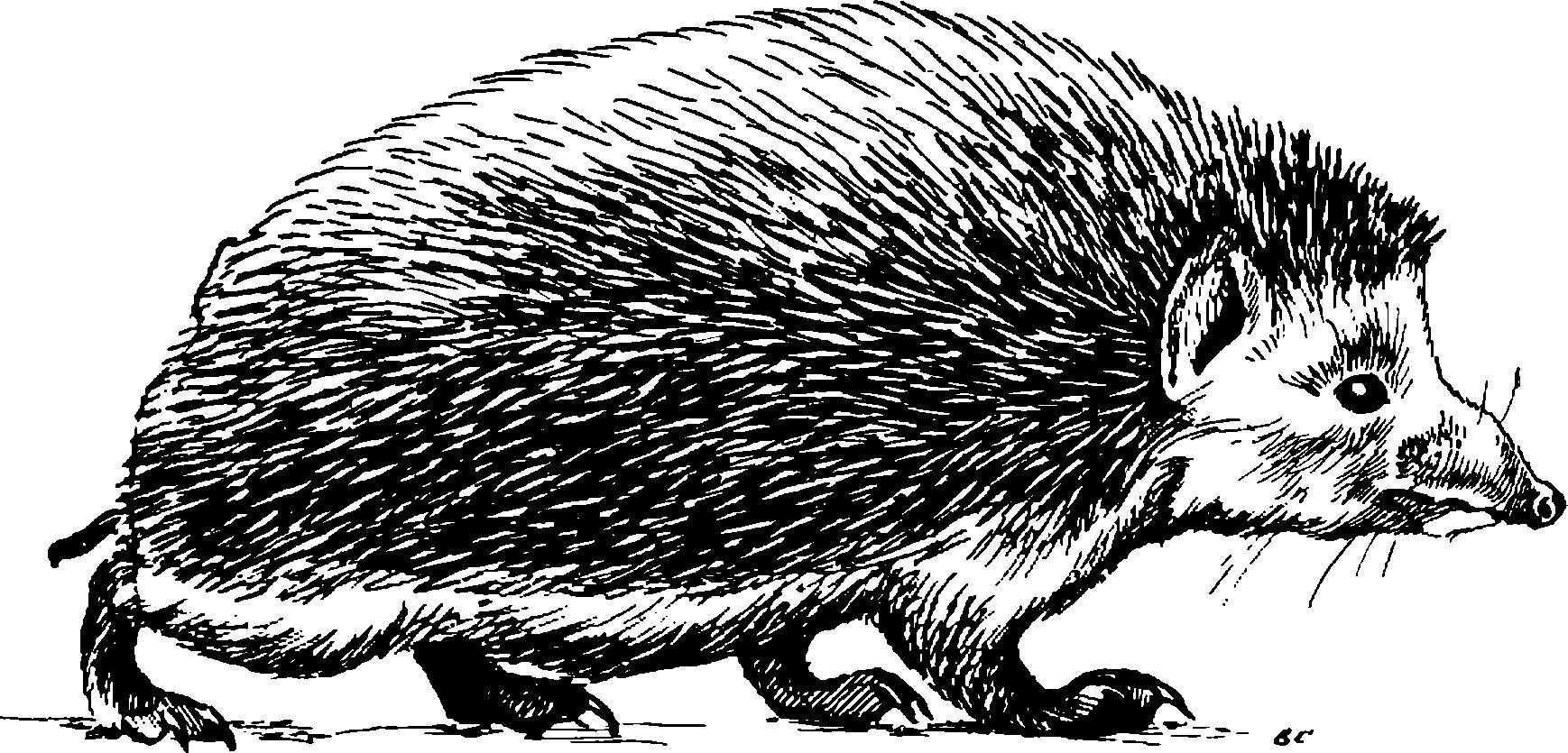 Даурский еж erinaceus dauricus sundevall 1841 ii 38