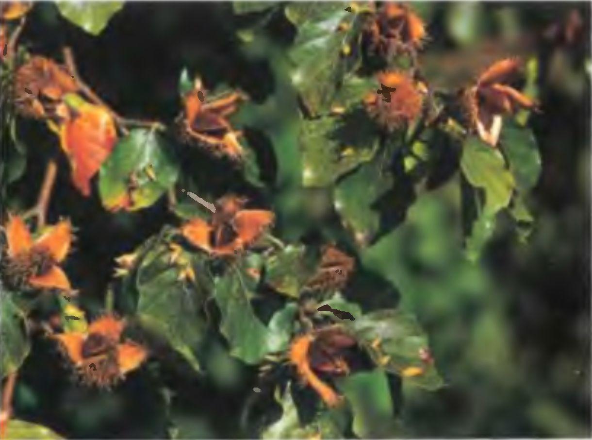 Листья эвкалипта от насморка для детей