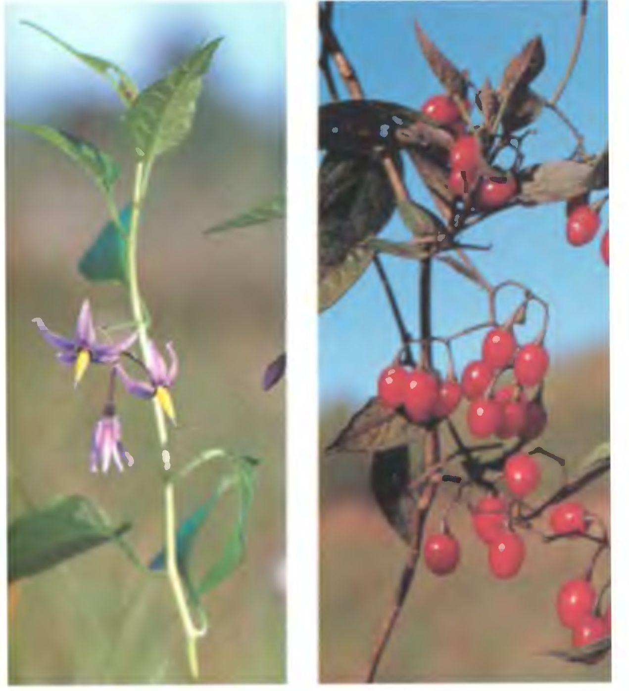Паслён сладко-горький выращивание 47