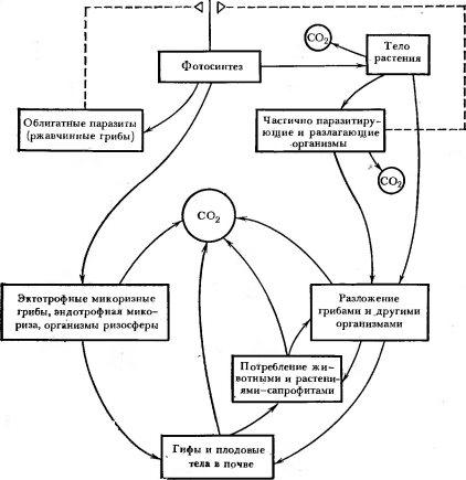 Схема участия грибов в