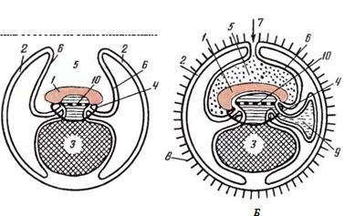 Схема плодных оболочек